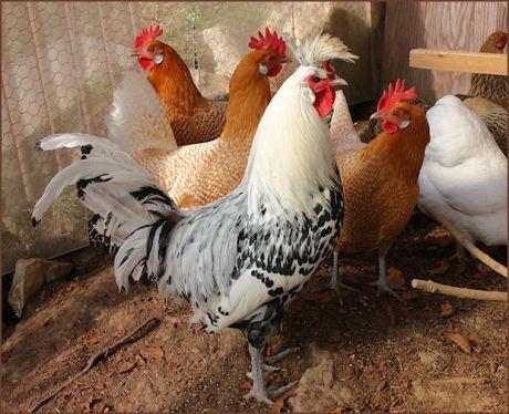 Unser Hahn Elvis mit Sanna, Fenna und Jonna